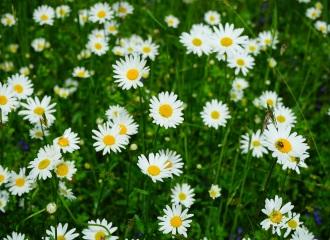 feverfew field of flowers
